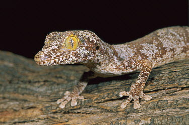 Spiny-tailed Gecko (Diplodactylus ciliaris) camouflaged on tree, Kakadu National Park, Australia  -  Thomas Marent