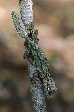 Leaf-tailed Gecko (Uroplatus sikorae) camouflaged on branch, Ankarafantsika National Park, Madagascar  -  Thomas Marent