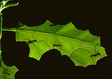 Leafcutter Ant (Atta sp) group dissecting leaf into fragments to be carried back to nest, Henri Pittier National Park, Venezuela  -  Thomas Marent