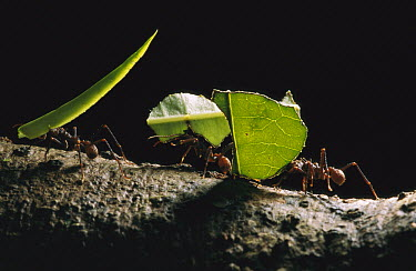 Leafcutter Ant (Atta sp) group carrying leaves back to nest, Amacayacu National Park, Colombia  -  Thomas Marent