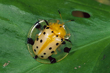 Fool's Gold Beetle (Aspidomorpha miliaris) protecting itself by withdrawing head and legs under shield, Canyon Reserve, Sumatra, Indonesia  -  Thomas Marent