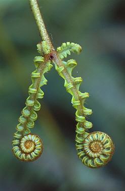 Curled fern fronds, Kinabalu National Park, Borneo, Malaysia  -  Thomas Marent