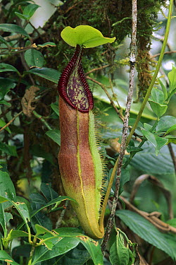 Mount Singgalang Pitcher Plant (Nepenthes singalana) trap, Kerinci Seblat National Park, Sumatra, Indonesia  -  Thomas Marent