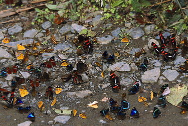 Butterflies gathering to sip minerals and salts from sand along riverbank, Manu National Park, Peru  -  Thomas Marent