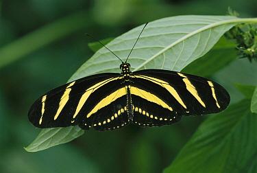 Zebra Butterfly (Heliconius charitonius) butterfly, Alluriquin, Ecuador  -  Thomas Marent