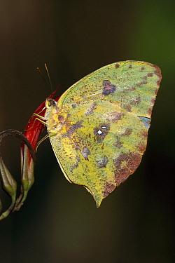 Pierid Butterfly (Phoebis sp), Manu National Park, Peru  -  Thomas Marent