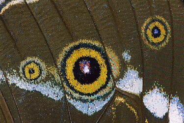 Morpho Butterfly (Morpho sp) close up, Manu National Park, Peru  -  Thomas Marent