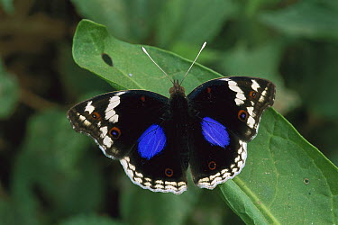 Dark Blue Pansy Butterfly (Junonia oenone), Kibale National Reserve, Uganda  -  Thomas Marent