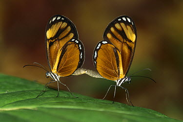 Nymphalid Butterfly (Nymphalidae) pair mating, Los Llanos, Venezuela  -  Thomas Marent