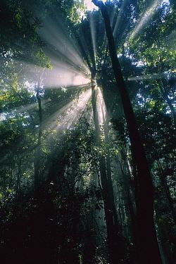 Sunbeams pierce the canopy in Lamington National Park, Queensland, northern Australia  -  Thomas Marent
