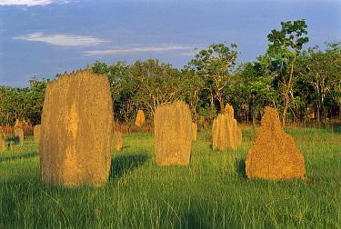 Magnetic Termite (Amitermes meridionalis) mounds in grassland, Litchfield National Park, Australia  -  Thomas Marent