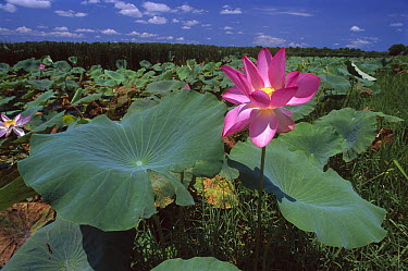 Sacred Lotus (Nelumbo nucifera) flower, Kakadu National Park, Australia  -  Thomas Marent