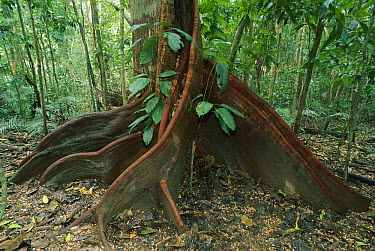 Buttress roots, Mossman Gorge, Daintree National Park, Australia  -  Thomas Marent