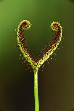 Sundew (Drosera binata) plant, Australia  -  Thomas Marent