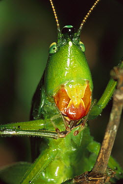 Katydid (Tettigoniidae) cleaning forelegs, Virolin National Park, Colombia  -  Thomas Marent