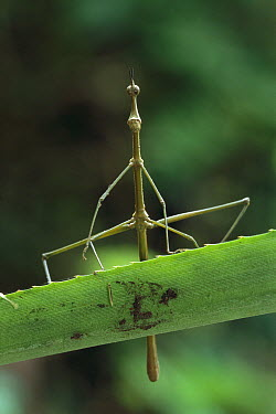 Jumping Stick (Apioscelis sp) which looks like a stick insect, but is actually a grasshoper that has evolved the same type of camouflage, Tambopata-Candamo Nature Reserve, Peru  -  Thomas Marent