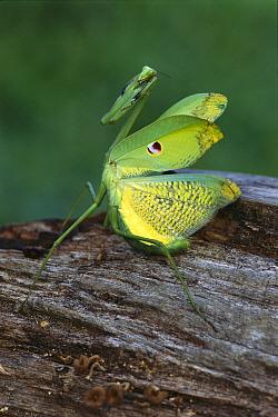 Mantid (Mantidae) waiting for prey, Iquitos, Peru  -  Thomas Marent