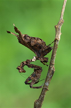 Mantid (Acanthops sp) hanging upside down on twig, Guyana  -  Thomas Marent