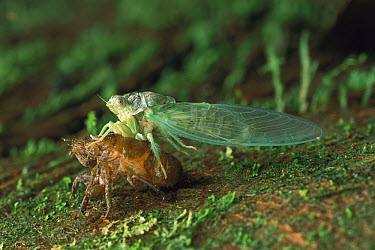 Cicada (Cicadidae) newly emerged from exuvia, Manu National Park, Peru  -  Thomas Marent