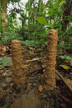 Cicada (Fidicina chlorogena) larvae mud-tubes, Tambopata-Candamo Nature Reserve, Peru  -  Thomas Marent