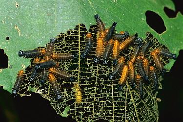 Beetle larvae, Rurrenabaque, Bolivia  -  Thomas Marent