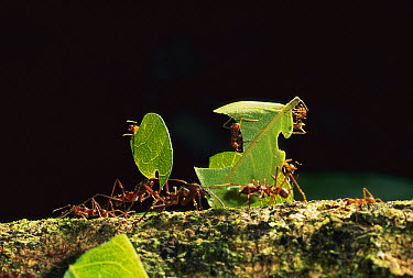 Leafcutter Ant (Atta sp) group carrying leaves back to nest, Manu National Park, Peru  -  Thomas Marent