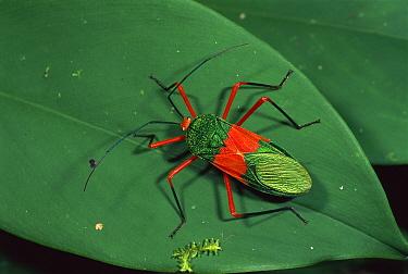 Capsid Bug (Miridae) on leaf, Amacayacu National Park, Colombia  -  Thomas Marent