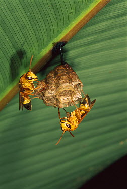 Wasp pair conctructing a nest under a Heliconia (Heliconia sp) leaf, Manu National Park, Peru  -  Thomas Marent