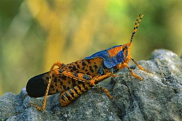 Leichhardt's Grasshopper (Petasida ephippigera) portrait, Kakadu National Park, Australia  -  Thomas Marent