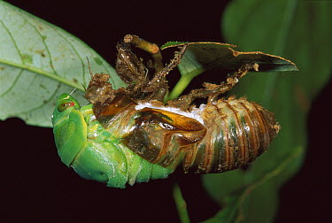 Cicada (Cicadidae) emerging from nymph skin, Palmerston National Park, Australia  -  Thomas Marent