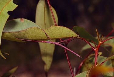 Stick Insect (Phasmatidae) mimicking leaf rib, Royal National Park, Australia  -  Thomas Marent