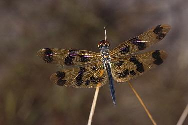 Banded Flutterer (Rhyothemis graphiptera) dragonfly, Kakadu National Park, Australia  -  Thomas Marent