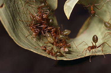 Green Tree Ant (Oecophylla smaragdina) group building nest with living leaves, Kakadu National Park, Australia  -  Thomas Marent