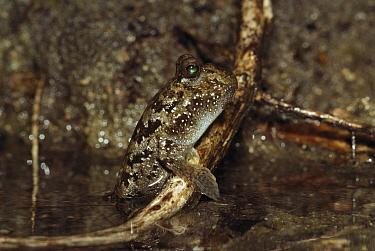 Mudskipper (Periophthalmus sp) emerged from water, Hinchinbrook Island National Park, Australia  -  Thomas Marent