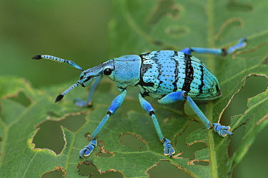 True Weevil (Eupholus nickerli), Crater Mountain, Papua New Guinea  -  Thomas Marent