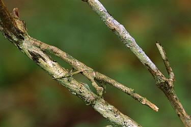 Stick Insect (Phasmatidae) mimicking twig, Wooroonooran National Park, Australia  -  Thomas Marent