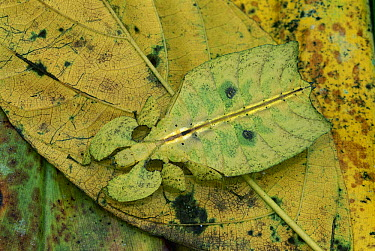 Walking Leaf (Phylliidae) insect mimicking leaf, Crater Mountain, Papua New Guinea  -  Thomas Marent
