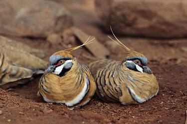 Spinifex Pigeon (Geophaps plumifera) pair, Alice Springs, Australia  -  Thomas Marent