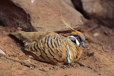 Spinifex Pigeon (Geophaps plumifera), Alice Springs, Australia  -  Thomas Marent