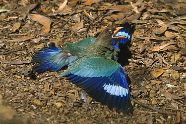 Dollarbird (Eurystomus orientalis) on the ground in defensive posture, Kakadu National Park, Australia  -  Thomas Marent