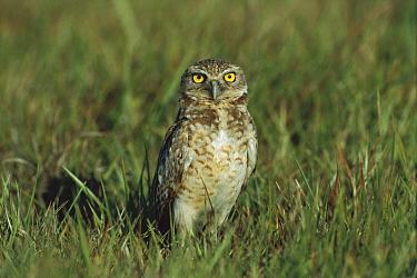 Burrowing Owl (Athene cunicularia) in grassland, Los Llanos, Venezuela  -  Thomas Marent