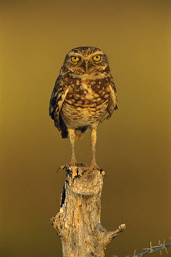 Burrowing Owl (Athene cunicularia) perched on stump, Los Llanos, Venezuela  -  Thomas Marent