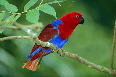 Eclectus Parrot (Eclectus roratus) male, Papua New Guinea  -  Thomas Marent