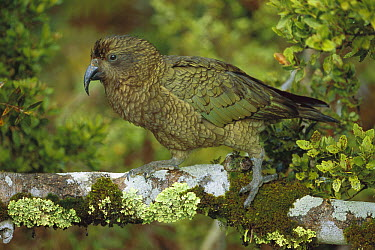 Kea (Nestor notabilis) on branch, Fjordland National Park, New Zealand  -  Thomas Marent