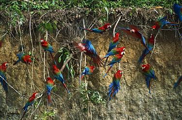 Red and Green Macaw (Ara chloroptera) flock feeding on minerals at clay lick, Madre de Dios River, Peru  -  Thomas Marent