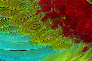 Red and Green Macaw (Ara chloroptera) wing feathers, Canaima National Park, Venezuela  -  Thomas Marent