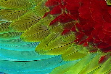 Red and Green Macaw (Ara chloroptera) wing feathers, Canaima National Park, Venezuela  -  Thomas Marent