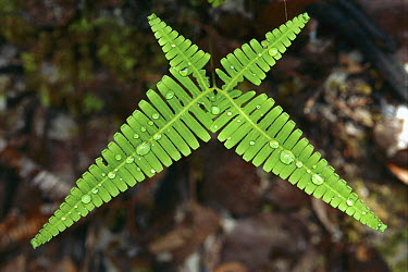 Fern with water drops in Bako National Park, Sarawak, Malaysia  -  Thomas Marent