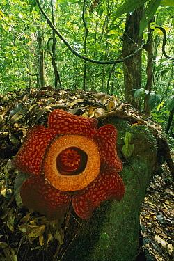 Rafflesia (Rafflesia arnoldii) flower, Gunung Gading National Park, Sarawak, Malaysia  -  Thomas Marent