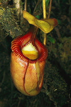 Villose Pitcher Plant (Nepenthes villosa) trap, Kinabalu National Park, Borneo, Malaysia  -  Thomas Marent